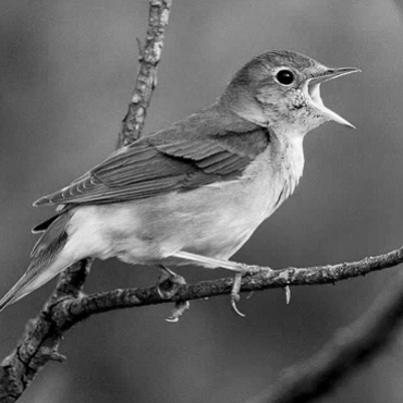 The tao of the 'Nightingale'